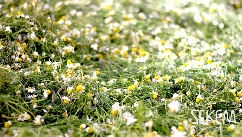 Camomile field at the SEKEM Farm