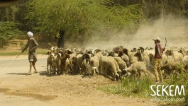 "Microcredit Loans for Sheep Husbandry: ""SEKEM Bedaya Fund"" Update"