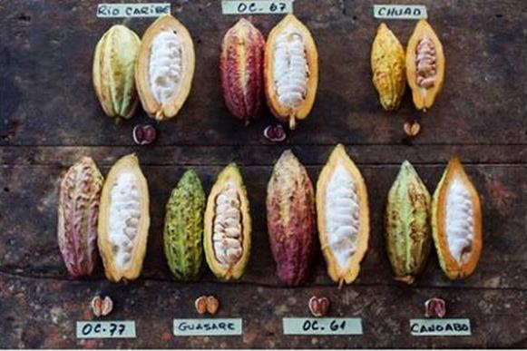 Różnorodność kakao - zdjęcia kabosów od W. Harcourt-Cooze
