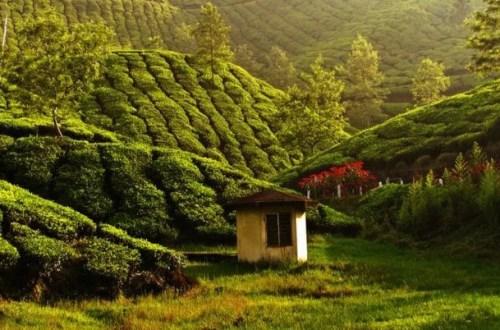 Zielona herbata krokiem w stronę zdrowia