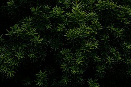 Conifer-Dream-12