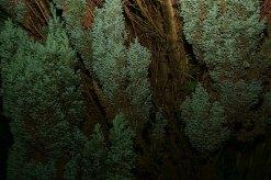 Conifer-Dream-20