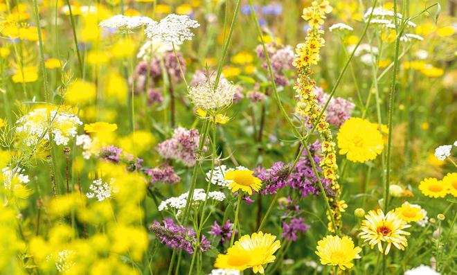 Wildblumenwiese  selbstde