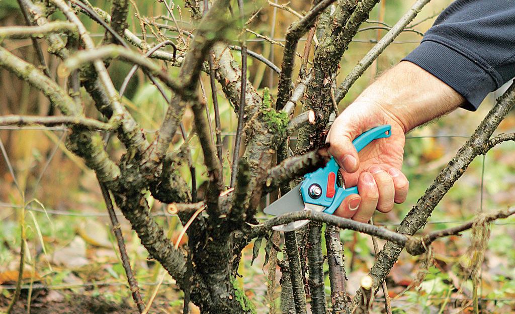 Johannisbeeren schneiden  Baumschnitt  selbstde