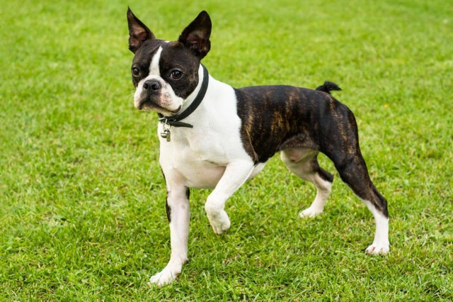 Image result for BOSTON terrier
