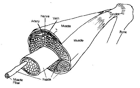 muscle tendon diagram