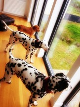 Dalmatians enjoying view at Stac Polly Cottage