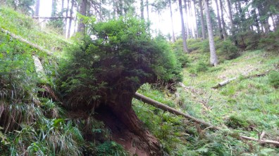 Small spruces grow from the inverted root