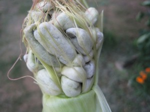 Would you feed this mutated 'corn' to your family?