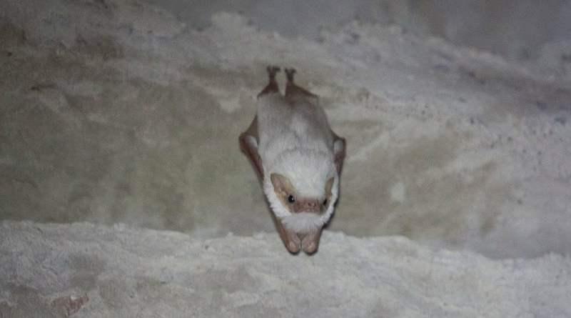 Morcego albino raro é descoberto em Ibicoara, na Chapada Diamantina