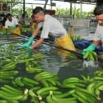 Sindicato bananero de Urabá se compromete con el sí a la paz