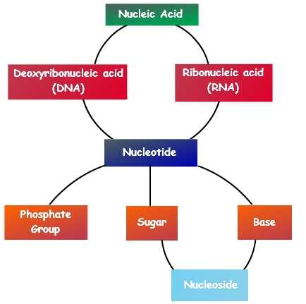 Biomolecules Concept Map Worksheet together with Nucleic Acids Functions Of Nucleic Acids