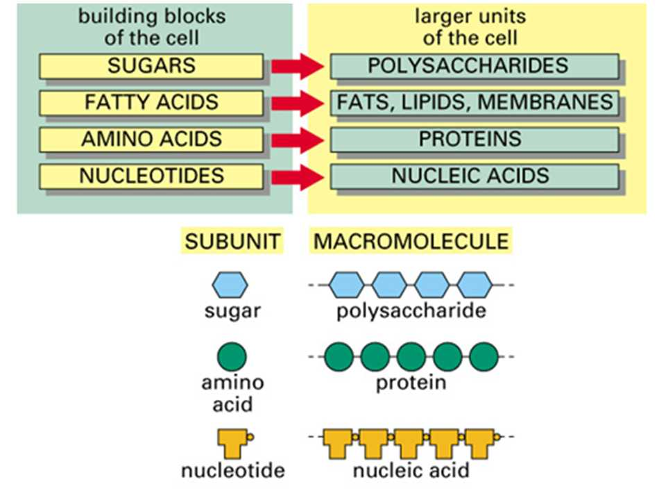 Biomolecules Worksheet Answers with Simple Diagram On Macromolecules Proteins Carbohydrates Lipids