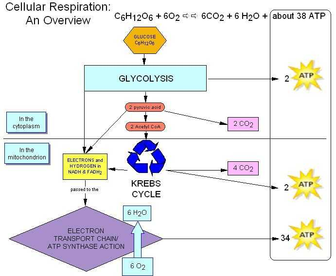 Bozeman Biology Photosynthesis and Respiration Video Worksheet Answers and 65 Best Cellular Respiration Images On Pinterest