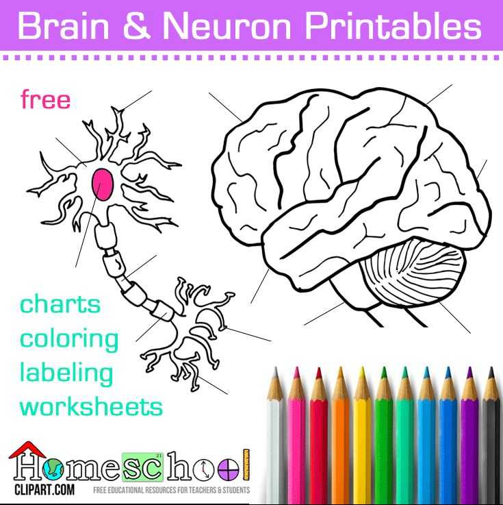 Brain Coloring Worksheet Along with 100 Best Body Systems Resources Images On Pinterest