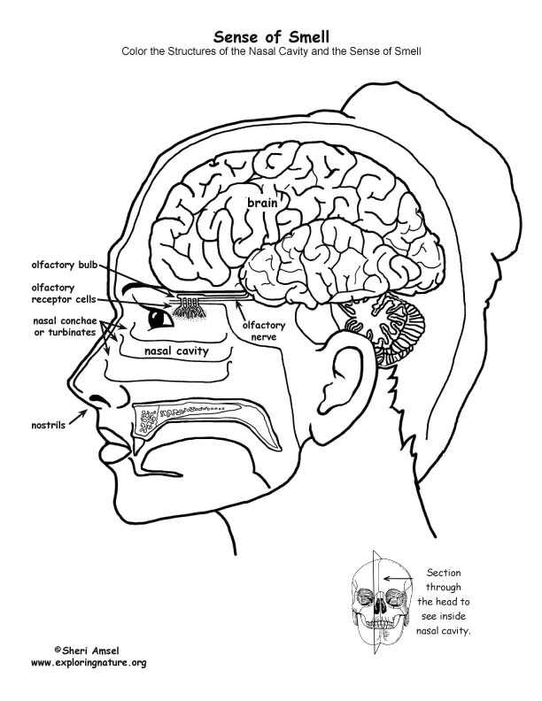 Brain Coloring Worksheet Also Riechen Coloring Pages