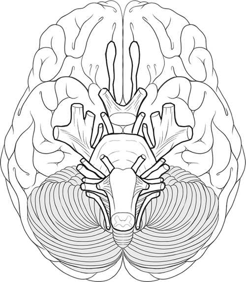 Brain Coloring Worksheet and Learn the Cranial Nerves with This Coloring Worksheet …