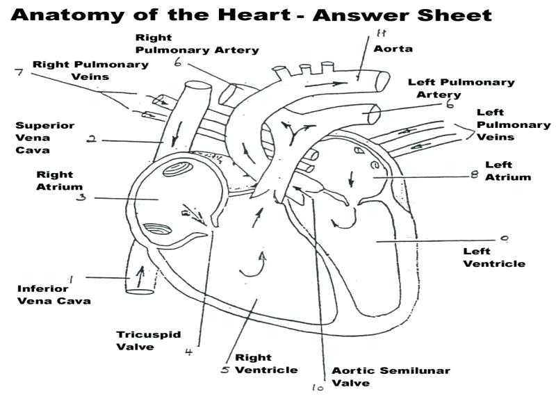 Cardiovascular System Worksheet Answers and Beste Circulatory System Anatomy and Physiology Ideen Menschliche