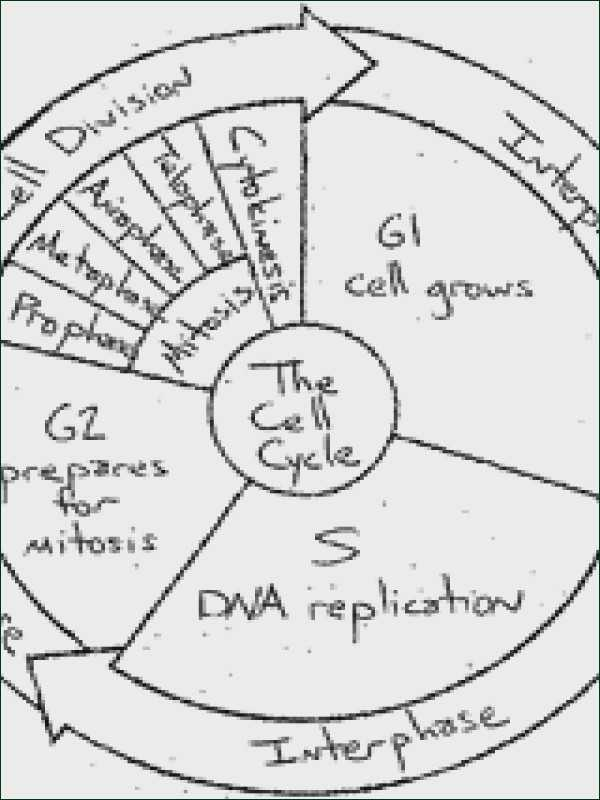 Cell Cycle Coloring Worksheet Answer Key as Well as the Cell Cycle Coloring Worksheet