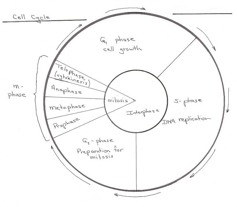 Cell Cycle Practice Worksheet and Worksheets 42 Re Mendations the Cell Cycle Worksheet Hi Res