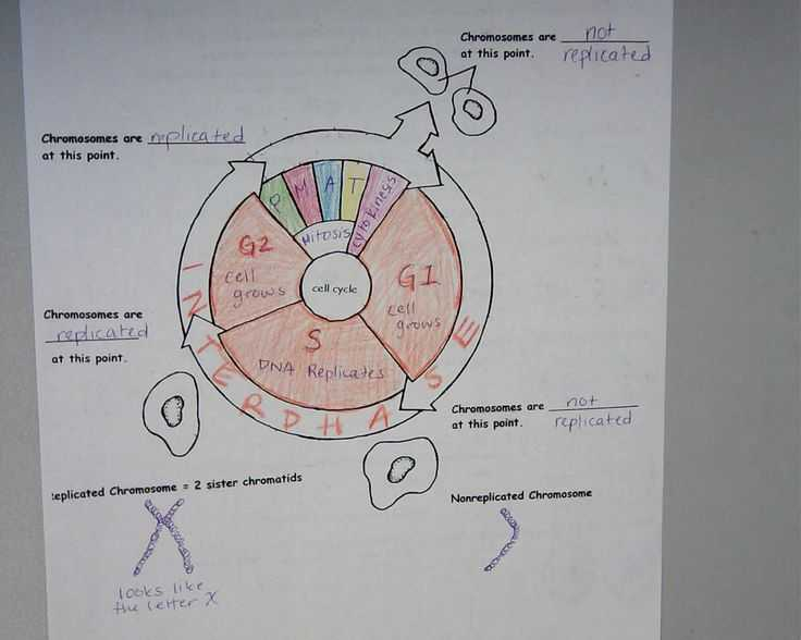 Cell Cycle Practice Worksheet as Well as 110 Best Cells Mitosis Images On Pinterest