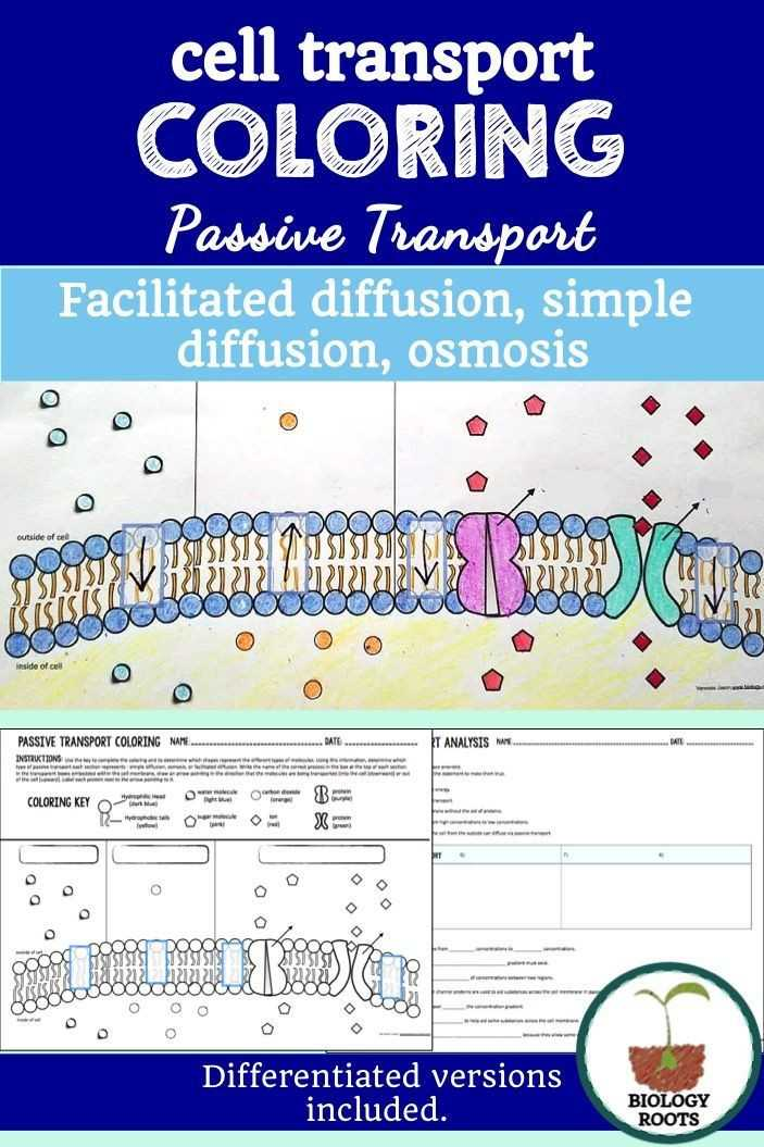 Cell Transport Worksheet Answer Key Also Transport In Cells Worksheet Answers Fresh Cell Transport Passive