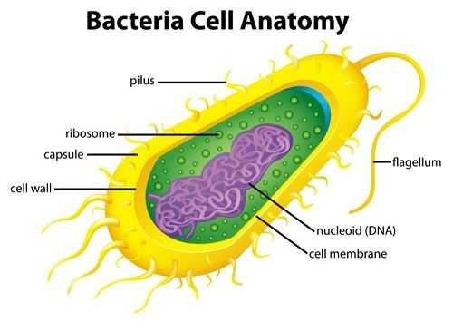 Cells Alive Bacterial Cell Worksheet Answer Key Also 153 Best Homeschool Science Microbiology Images On Pinterest