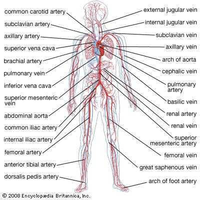 Chapter 11 the Cardiovascular System Worksheet Answer Key and Circulatory System the Vertebrate Circulatory System