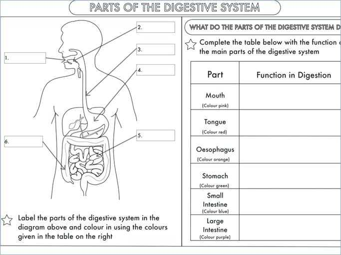 Digestive System Worksheet Pdf Also Coloring Pages – Invatzafo