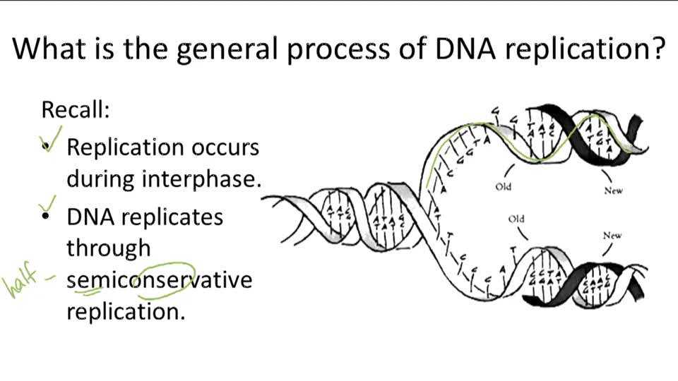 Dna the Double Helix Worksheet Along with Dna Structure and Replication