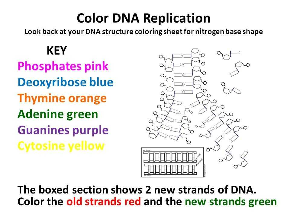 Dna the Double Helix Worksheet and Lovely Dna Replication Worksheet Answers Beautiful Dna