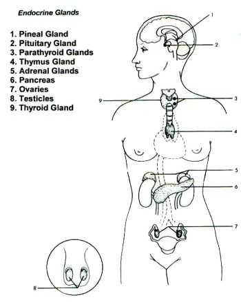 Endocrine System Worksheet Along with 331 Best Biologia Images On Pinterest