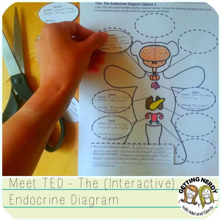 Endocrine System Worksheet as Well as Endocrine System