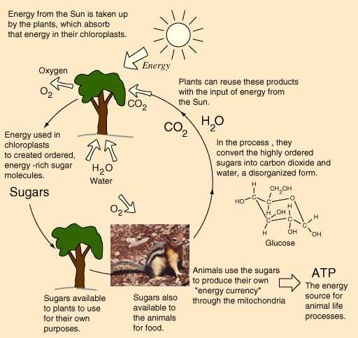 Energy Flow In Living Things Worksheet Also 16 Best the Characteristics Of Living Things Images On Pinterest
