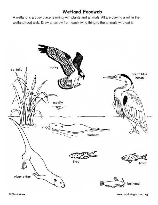 Food Web Practice Worksheet or Wetland Food Web Activity Wetland Education Activities