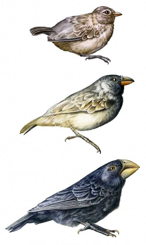 Galapagos island Finches Worksheet or Darwin Finch by Stefan Hörberg Via Behance Shit
