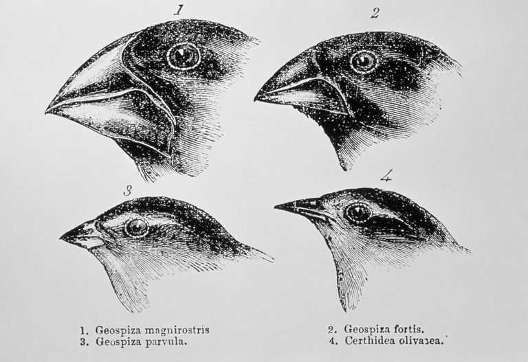 Galapagos island Finches Worksheet together with Charles Darwin S Finches and the theory Of Evolution
