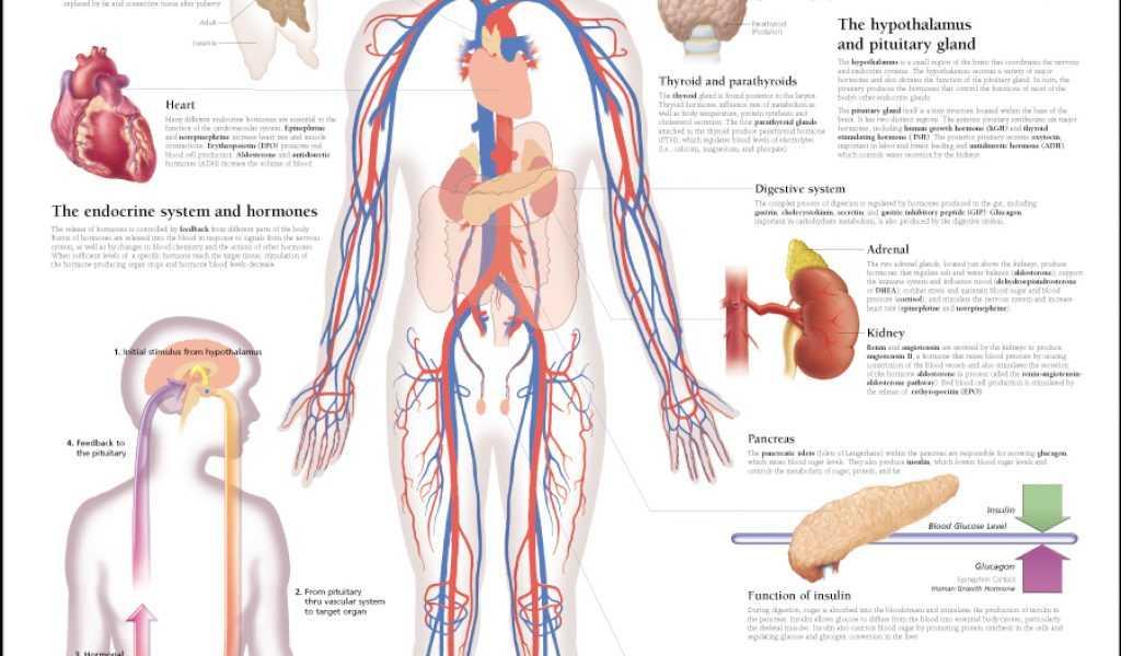 Human Endocrine Hormones Worksheet Key Along with Niedlich Endokrine System Diagramme Galerie Menschliche Anatomie
