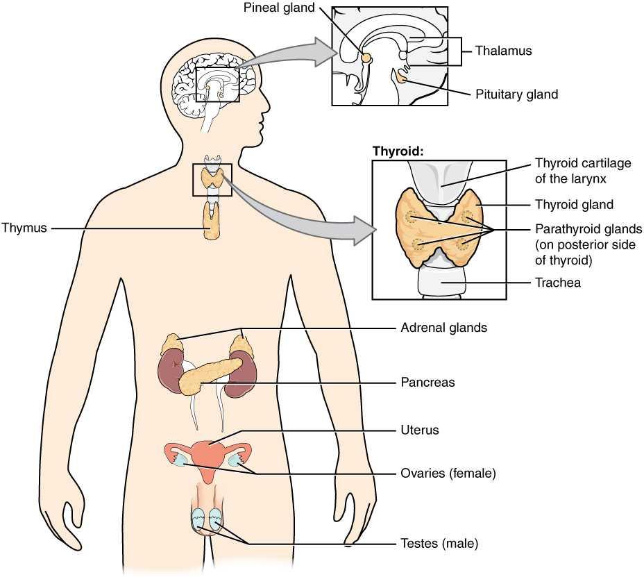 Human Endocrine Hormones Worksheet Key with Animal Hormones