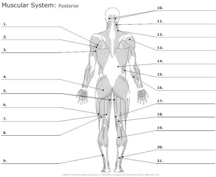 Muscular System Worksheet Answers Also 130 Best Anatomy the Muscles Images On Pinterest