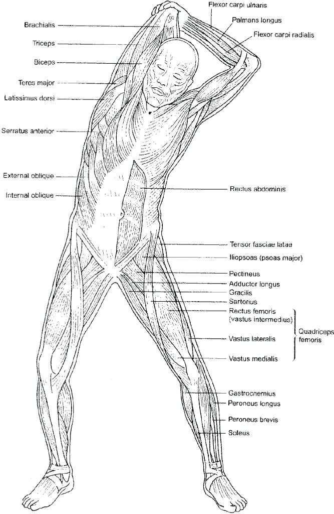 Muscular System Worksheet Answers and Muscle Coloring Pages Muscular System Coloring Pages Anatomy