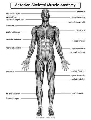 Muscular System Worksheet Answers together with Muscular System Diagrams Study Label Quiz & Color by