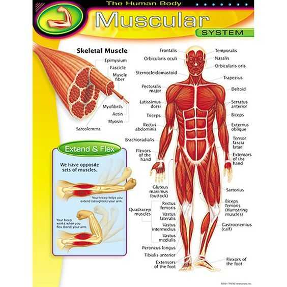 Muscular System Worksheet as Well as Chart Muscular System