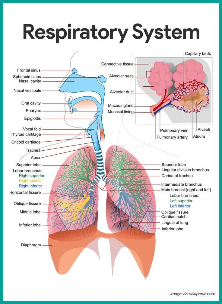 Respiratory System Worksheet as Well as 211 Best Awesome Anatomy Images On Pinterest