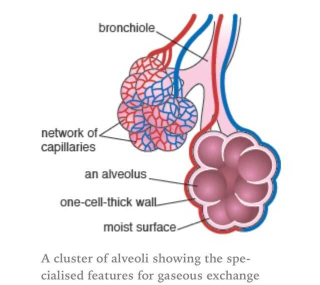 Respiratory System Worksheet or Alveoli Air Sacs Massively Increase the Surface area Of the Lungs