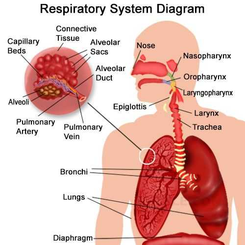 Respiratory System Worksheet or organs Of the Respiratory System and their Functioning