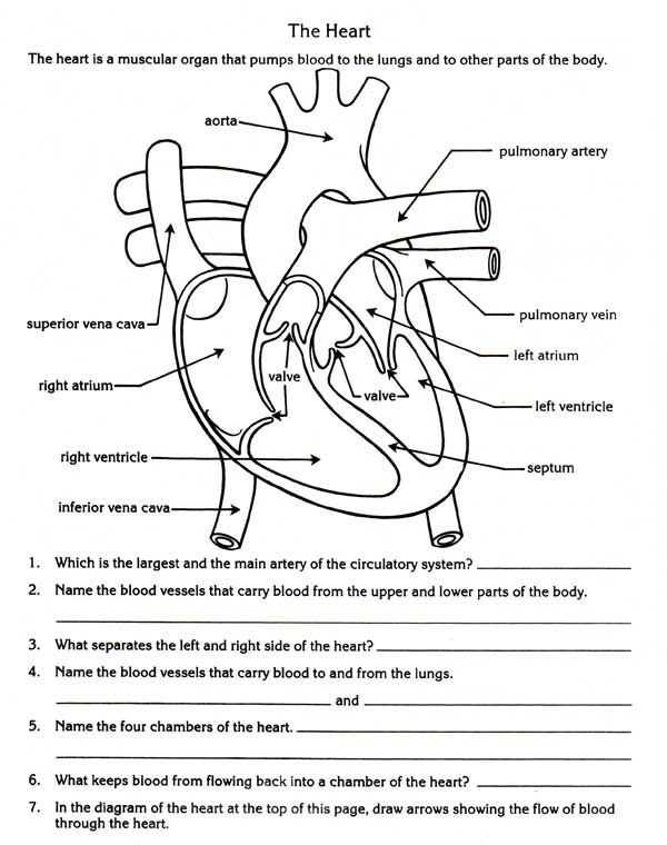 Respiratory System Worksheet together with Free Parts Of the Heart Worksheets