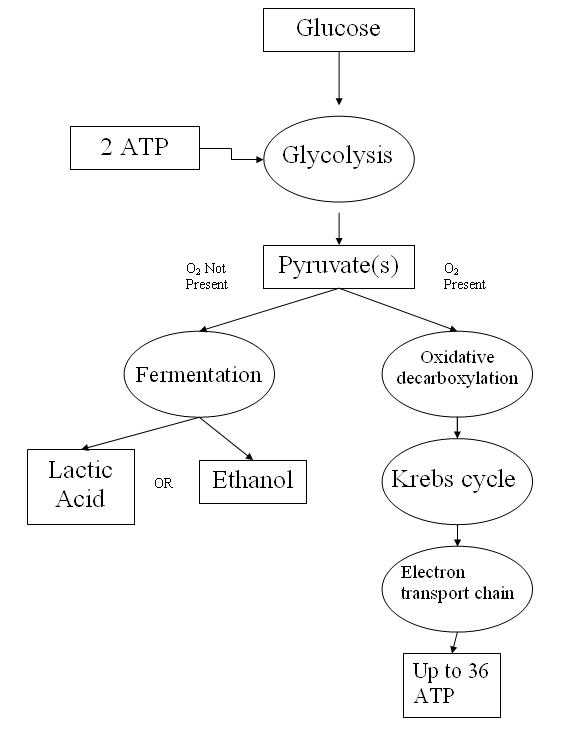 The Krebs Cycle Student Worksheet Along with Worksheets 49 Best Cellular Respiration Worksheet High Resolution