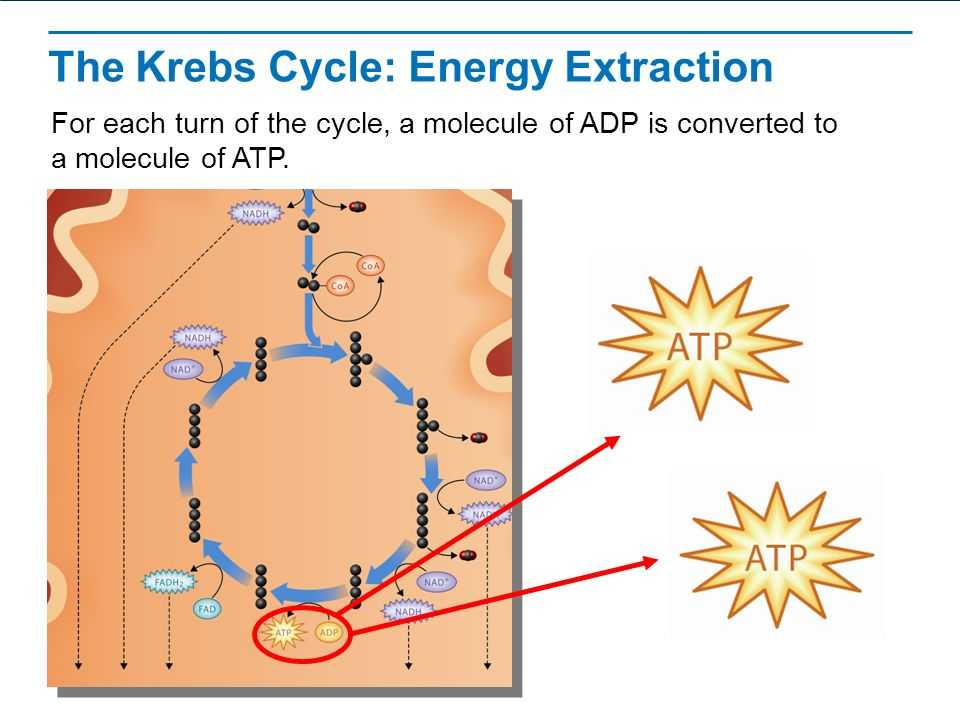 The Krebs Cycle Student Worksheet Also Wel E to Class and Plete the Following  Warm Up Staar