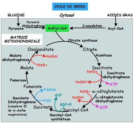 The Krebs Cycle Student Worksheet together with 42 Best Citric Acid Cycle Images On Pinterest
